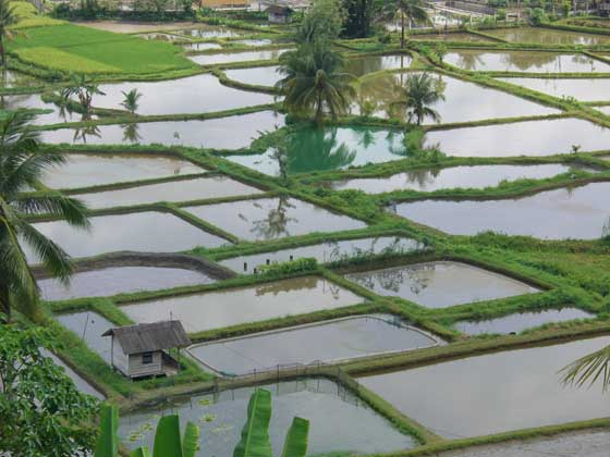 Beautiful ricefields near Bukittinggi