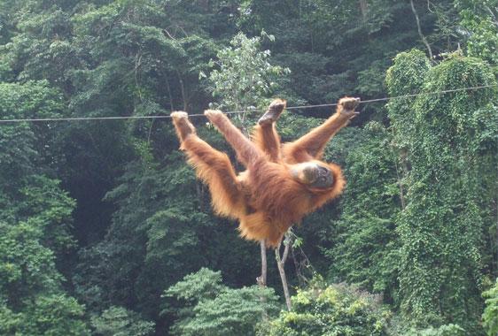 Orangutan crossing the Bohorok river at Bukit Lawang
