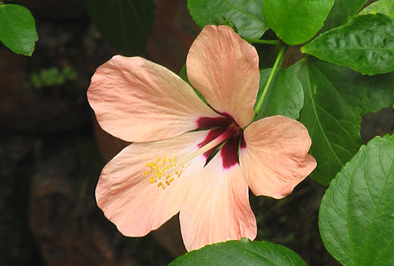 Beautiful hibiscus flower in Bukit Lawang rainforest