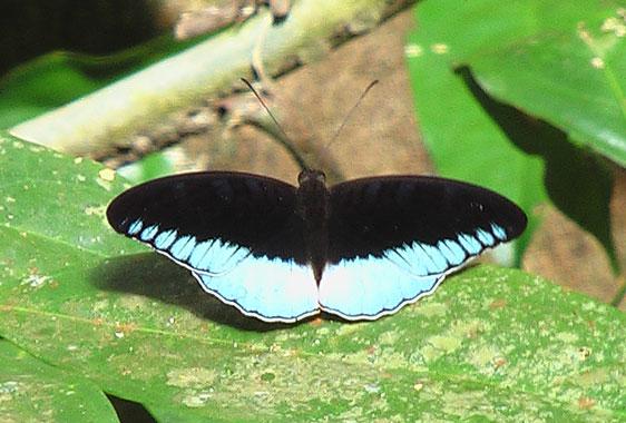 Beautiful morpho butterfly in the jungle of Bukit Lawang